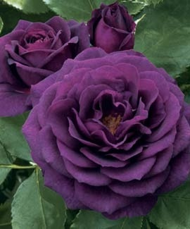Rose of the Week: Ebb Tide