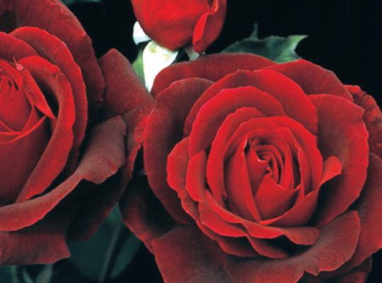 Rose of the Week: Mister Lincoln