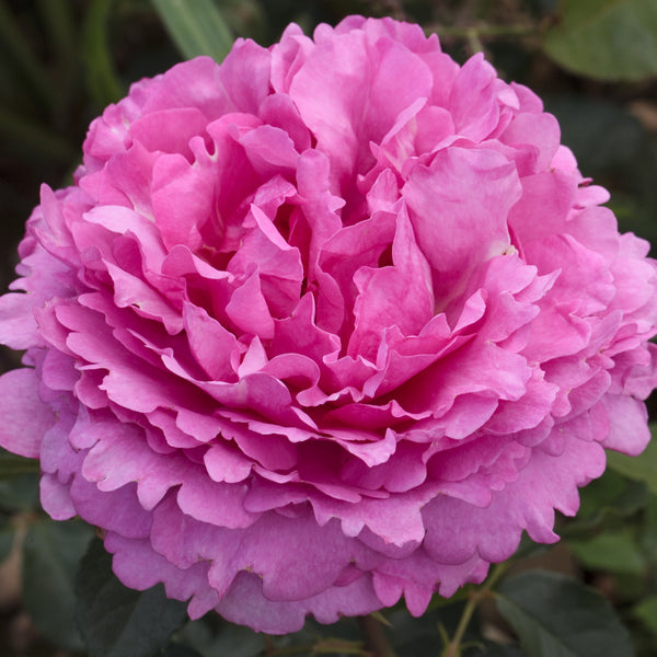 Rose of the Week: Yves Piaget