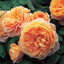 Crown Princess Margareta (Potted/Bareroot)