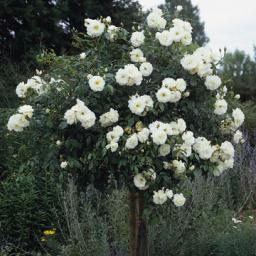Iceberg (36-inch Tree Rose)