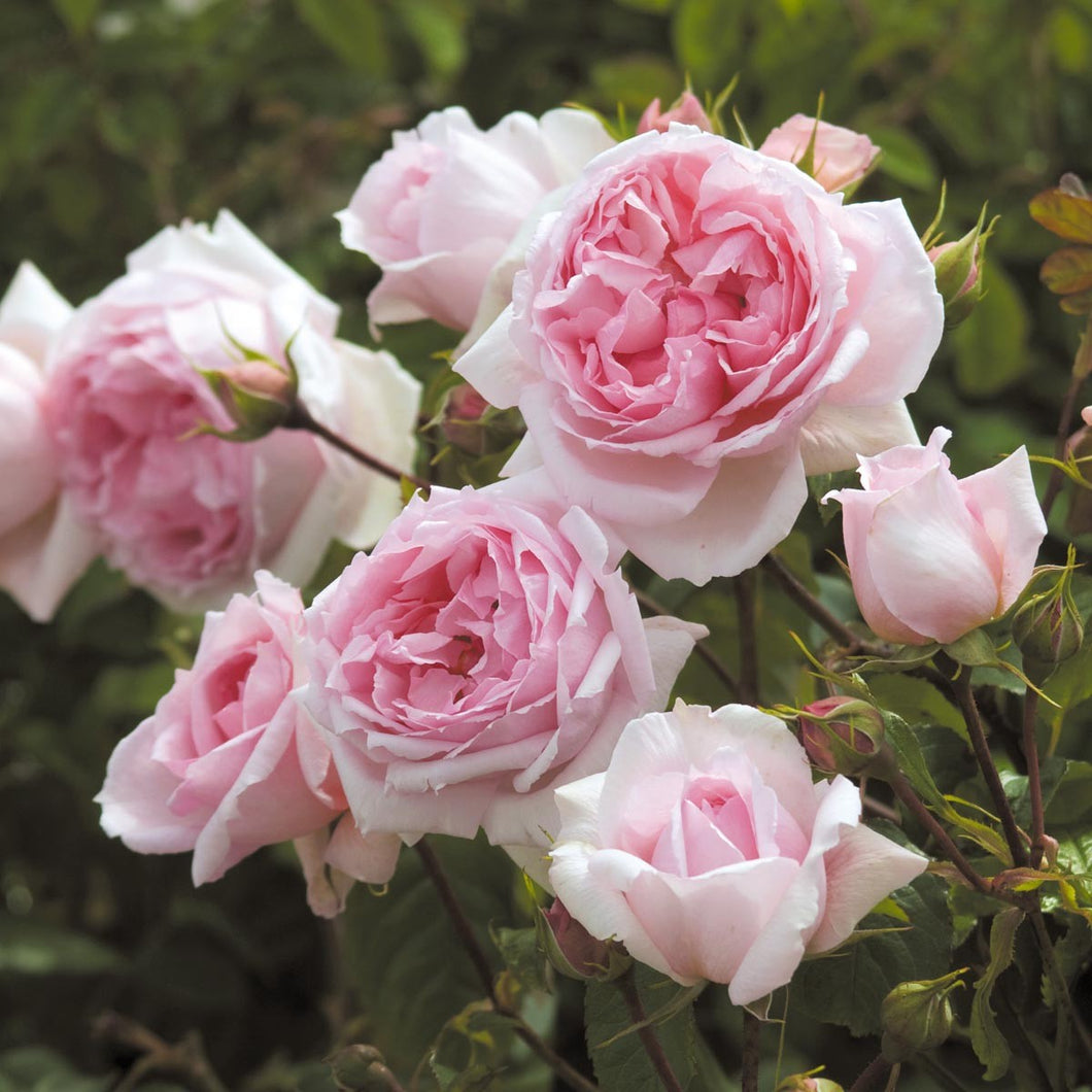 The Wedgwood Rose - Climbing