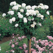 "Winchester Cathedral (36"" Tree) (Potted/Bareroot)"