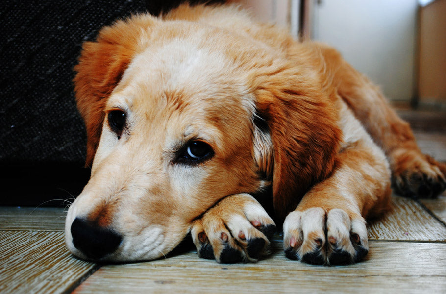 Common symptoms and causes of allergies in dogs