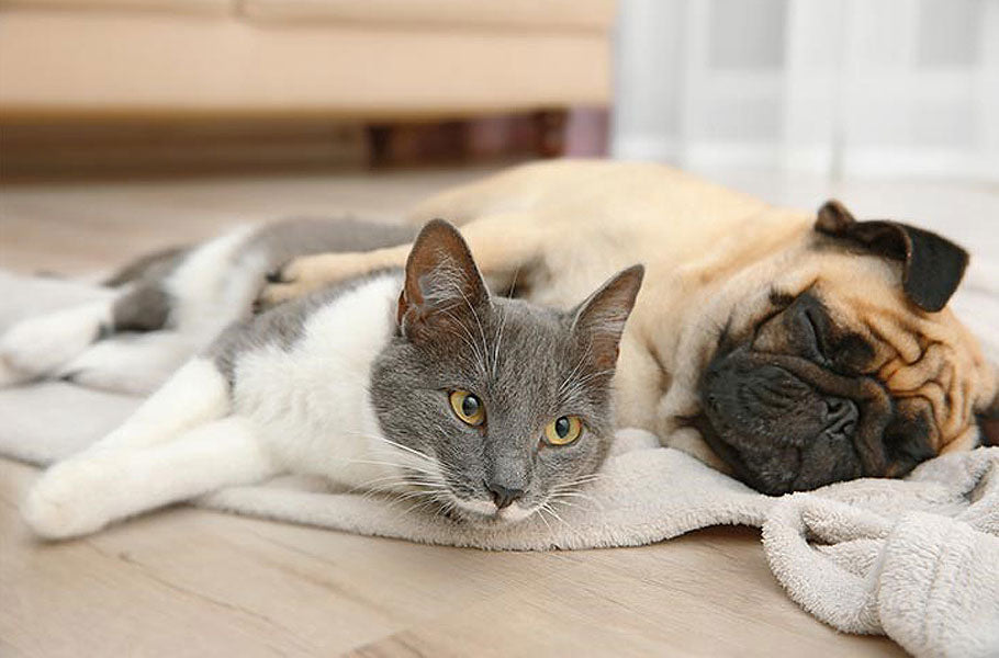14 best dog breeds that are cat-friendly