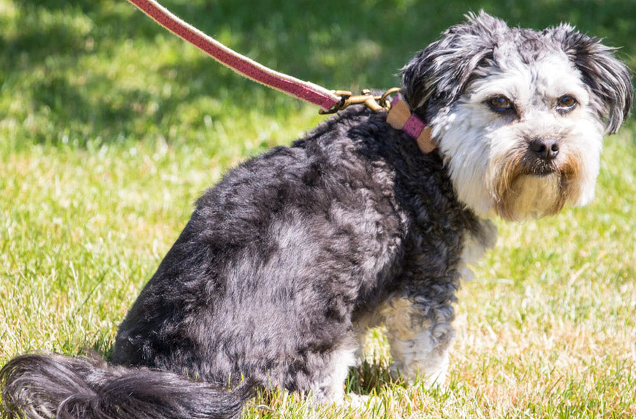 9 dog walking dangers every dog owner should know about