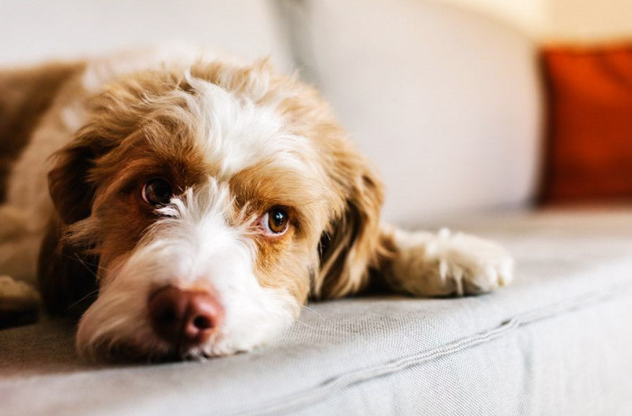 Do dogs experience the emotion of jealousy?