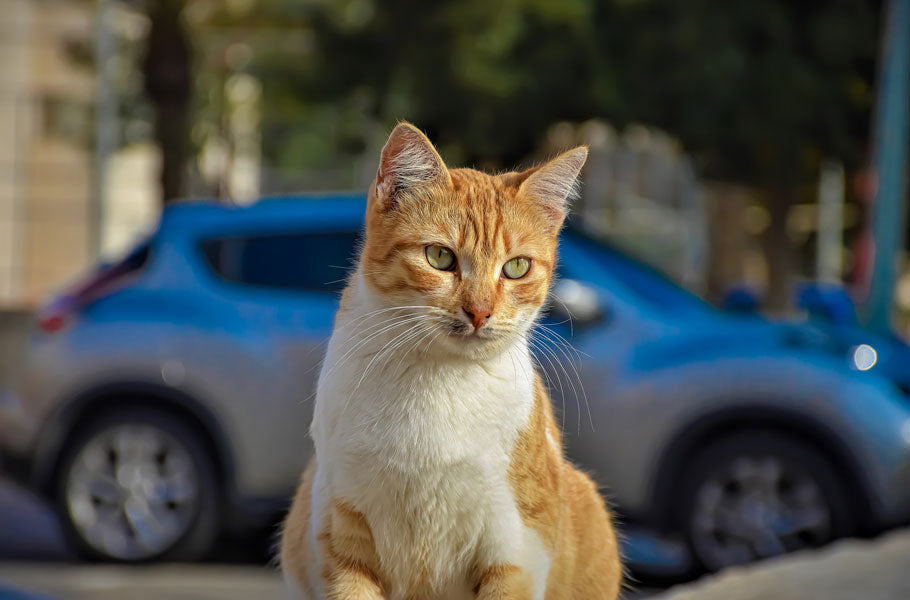 How to keep your cat safe when travelling by car