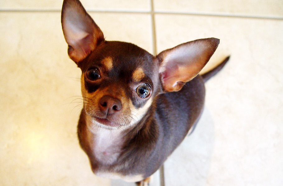 9-dog-breeds-best-known-for-cuddling-Chihuahua