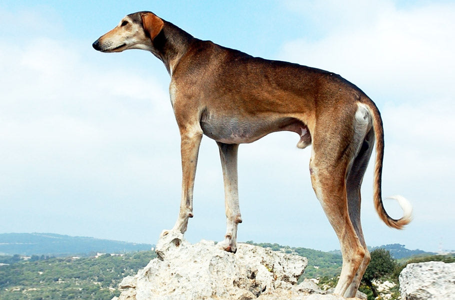 9-dog-breeds-best-known-for-cuddling-Greyhound