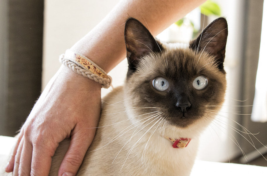 pettsie-7-awesome-facts-about-siamese-cats-kitten