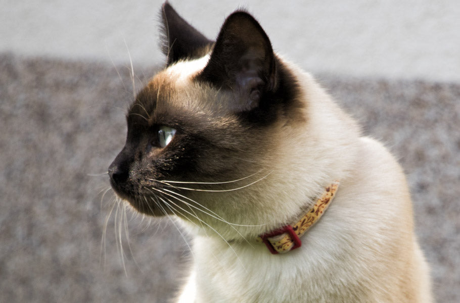 pettsie-7-awesome-facts-about-siamese-cats-feline