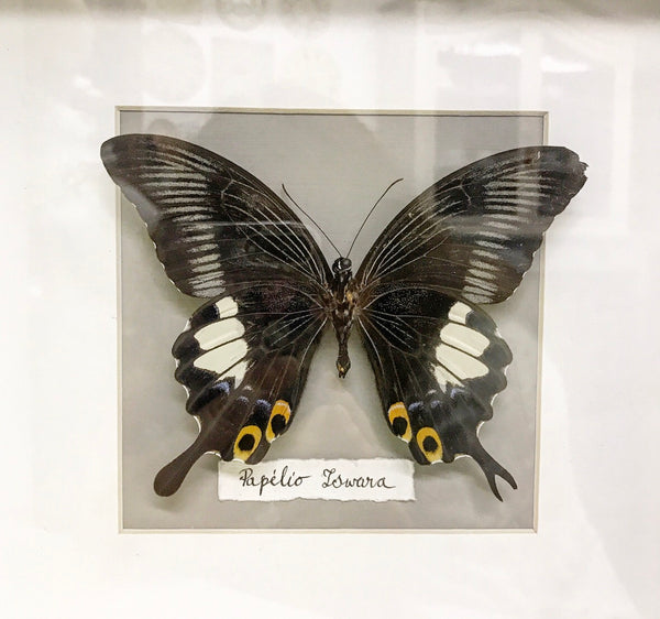 Early 20th century Entomology Taxidermy of Papilo Iswara