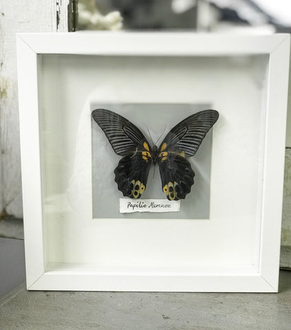 Early 20th century Entomology Taxidermy of Papilio Memnon