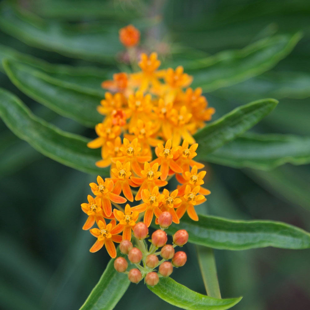Butterfly Weed Seed Pack - MT. VERNON LADIES ASSOC - The Shops at Mount Vernon