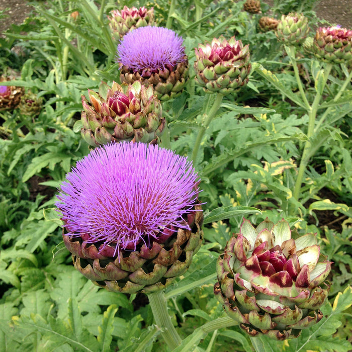 Globe Artichoke Seed Pack - The Shops at Mount Vernon - The Shops at Mount Vernon
