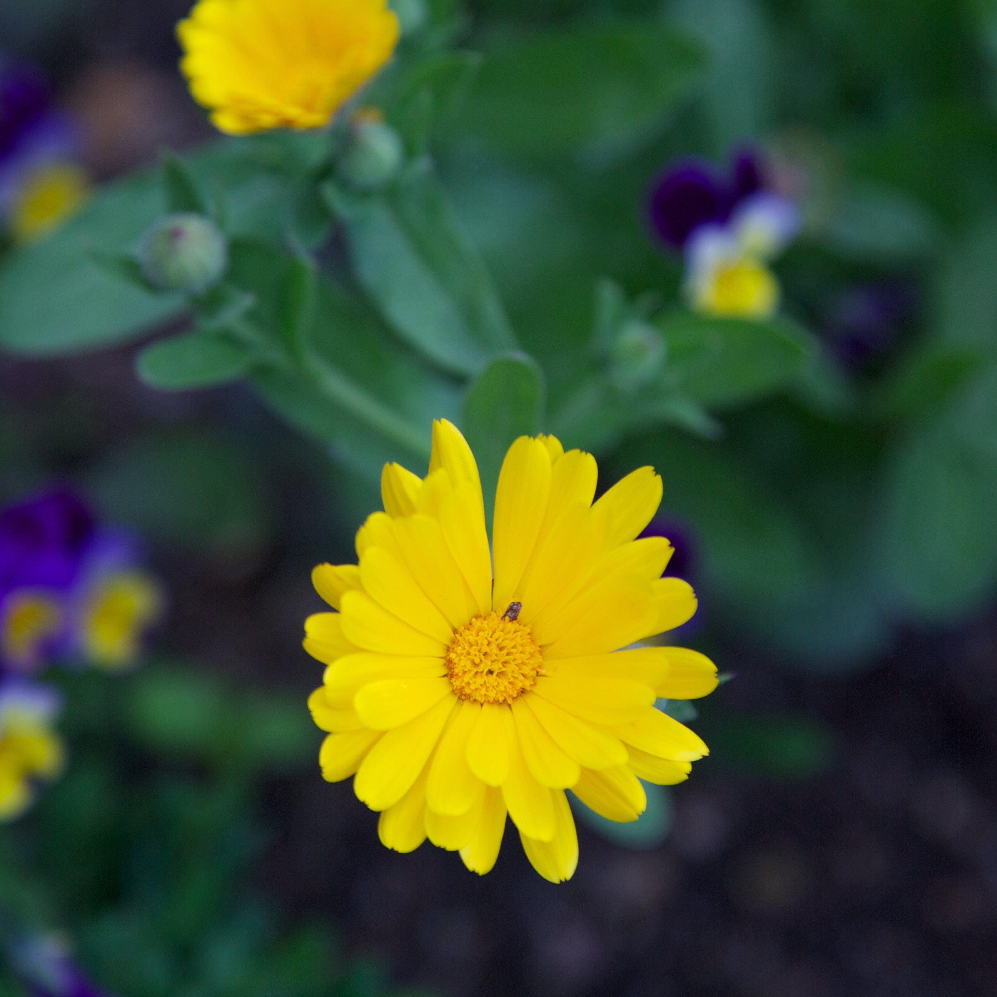 Pot Marigold Seed Pack