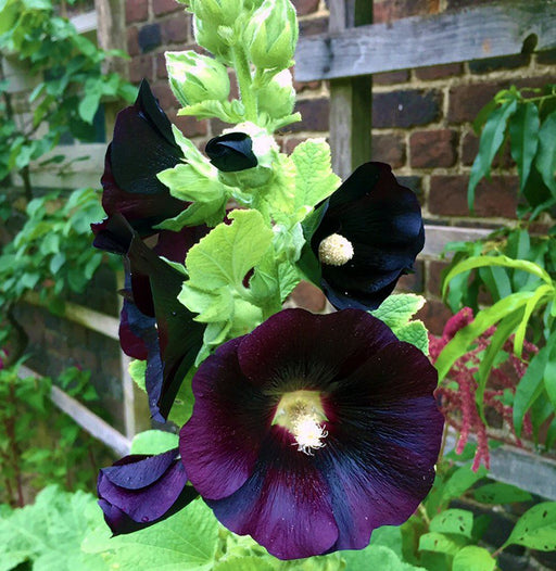 Black Hollyhock Seed Pack - MT. VERNON LADIES ASSOC - The Shops at Mount Vernon