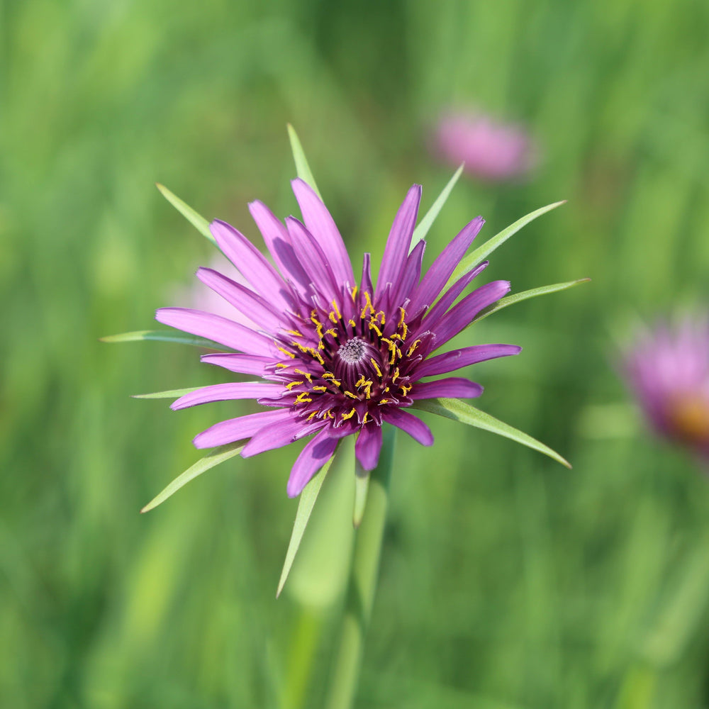 Purple Salsify Seed Pack - MT. VERNON LADIES ASSOC - The Shops at Mount Vernon