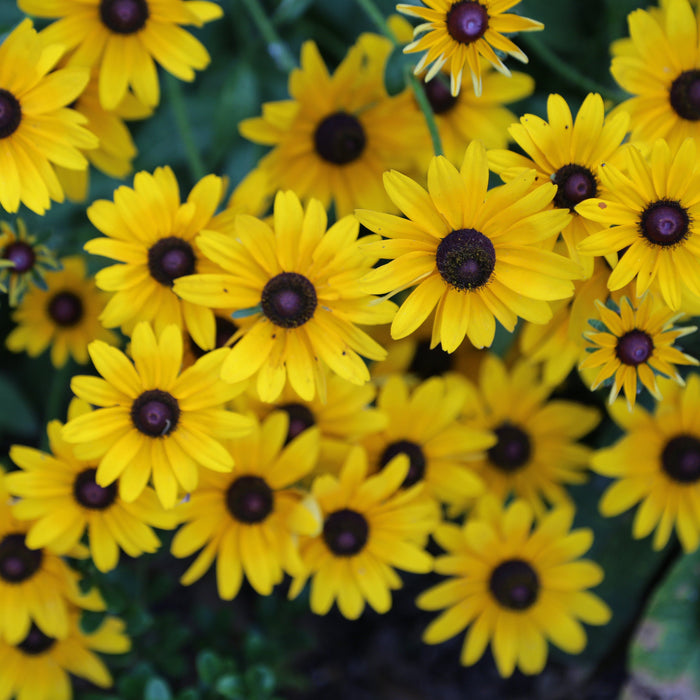Brown-Eyed Susan Seed Pack - The Shops at Mount Vernon - The Shops at Mount Vernon