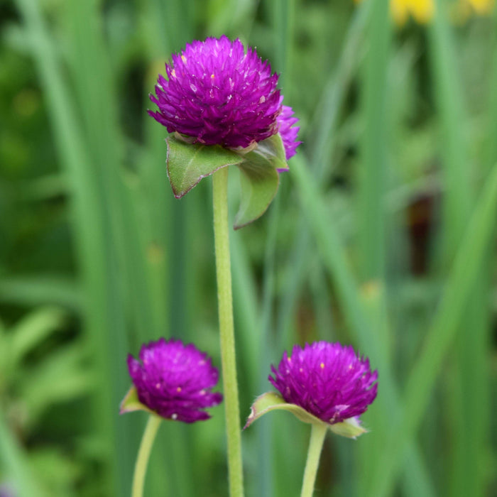 Globe Amaranth Seed Pack - The Shops at Mount Vernon - The Shops at Mount Vernon