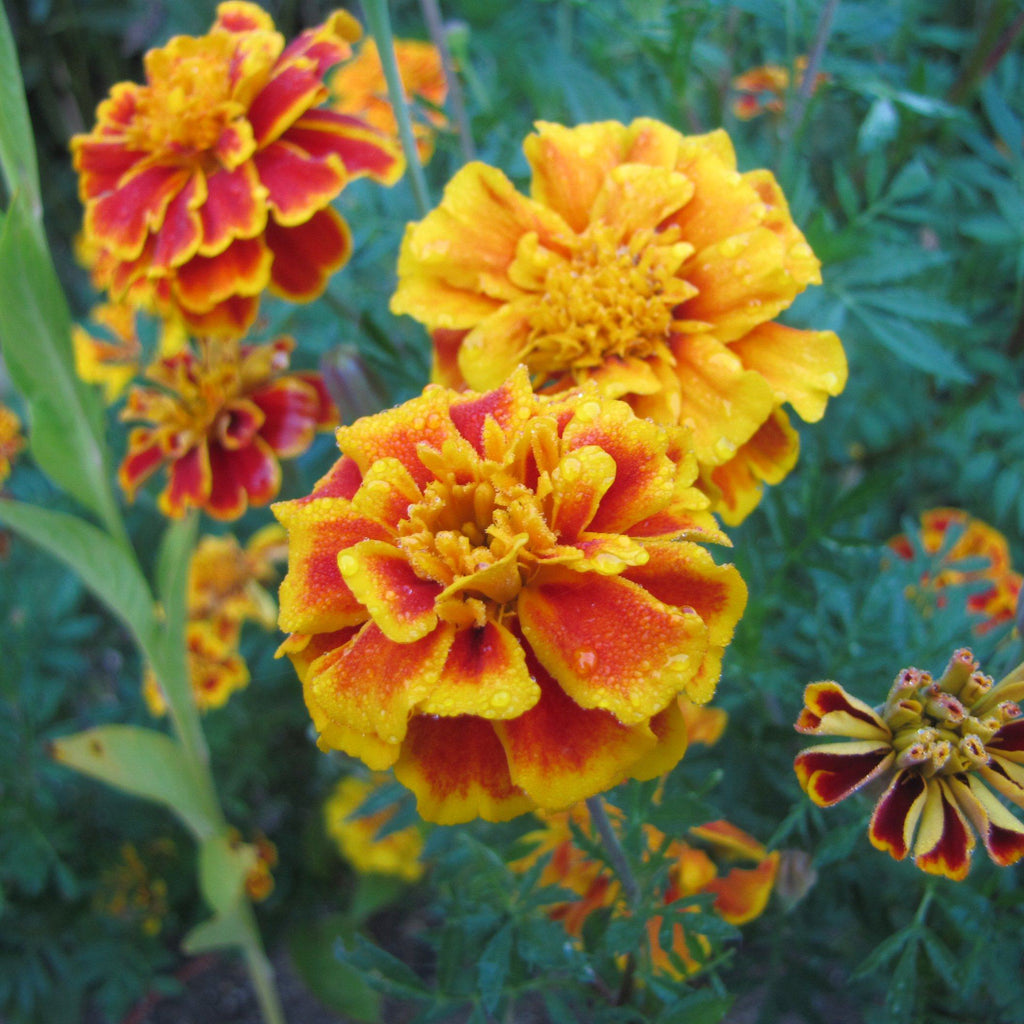 French Marigold Seed Pack