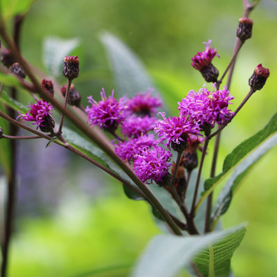 New York Ironweed Seed Pack