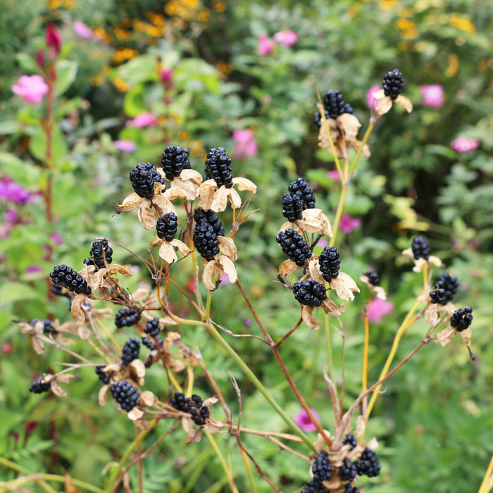 Blackberry Lily Seed Pack - The Shops at Mount Vernon - The Shops at Mount Vernon