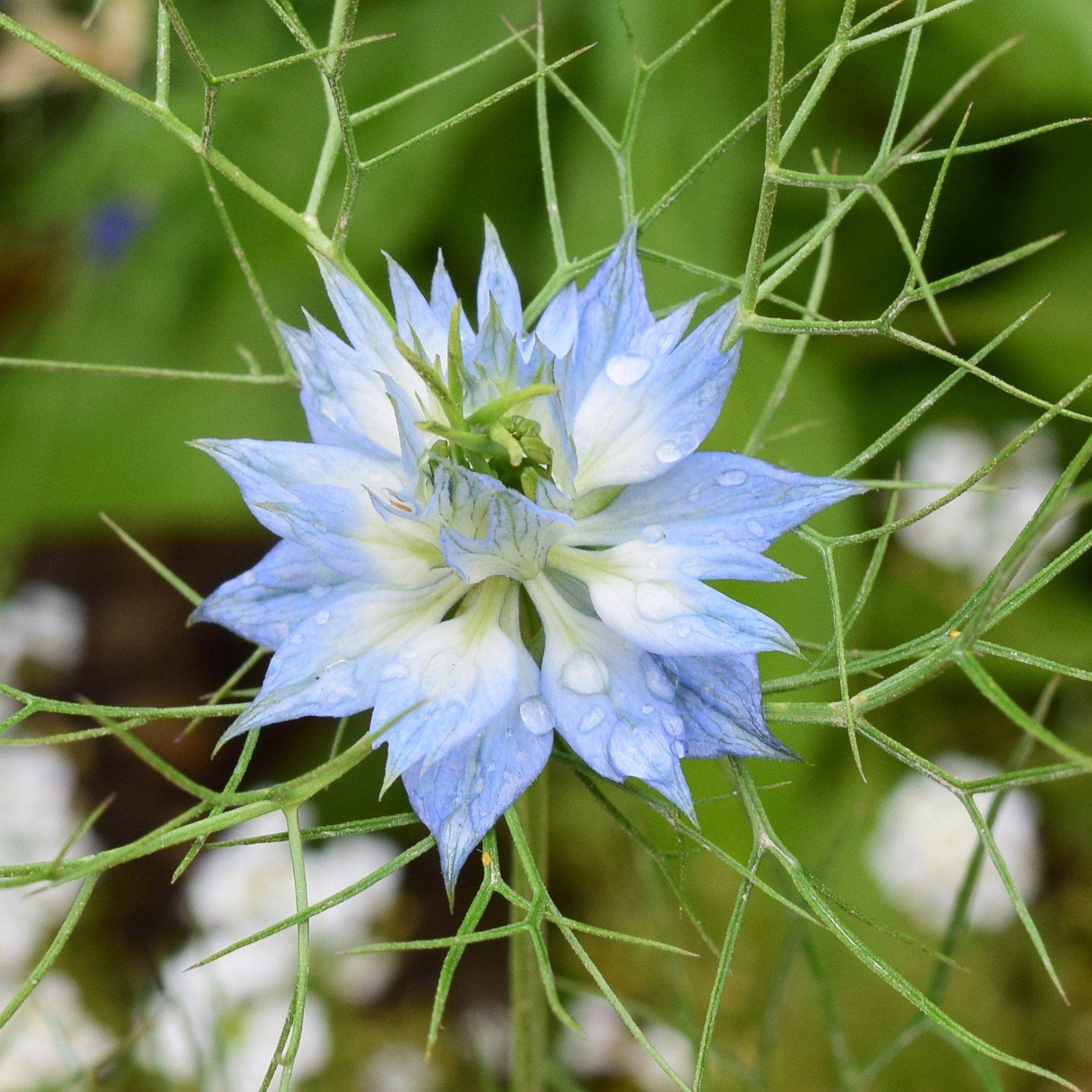 Love In A Mist Seed Pack