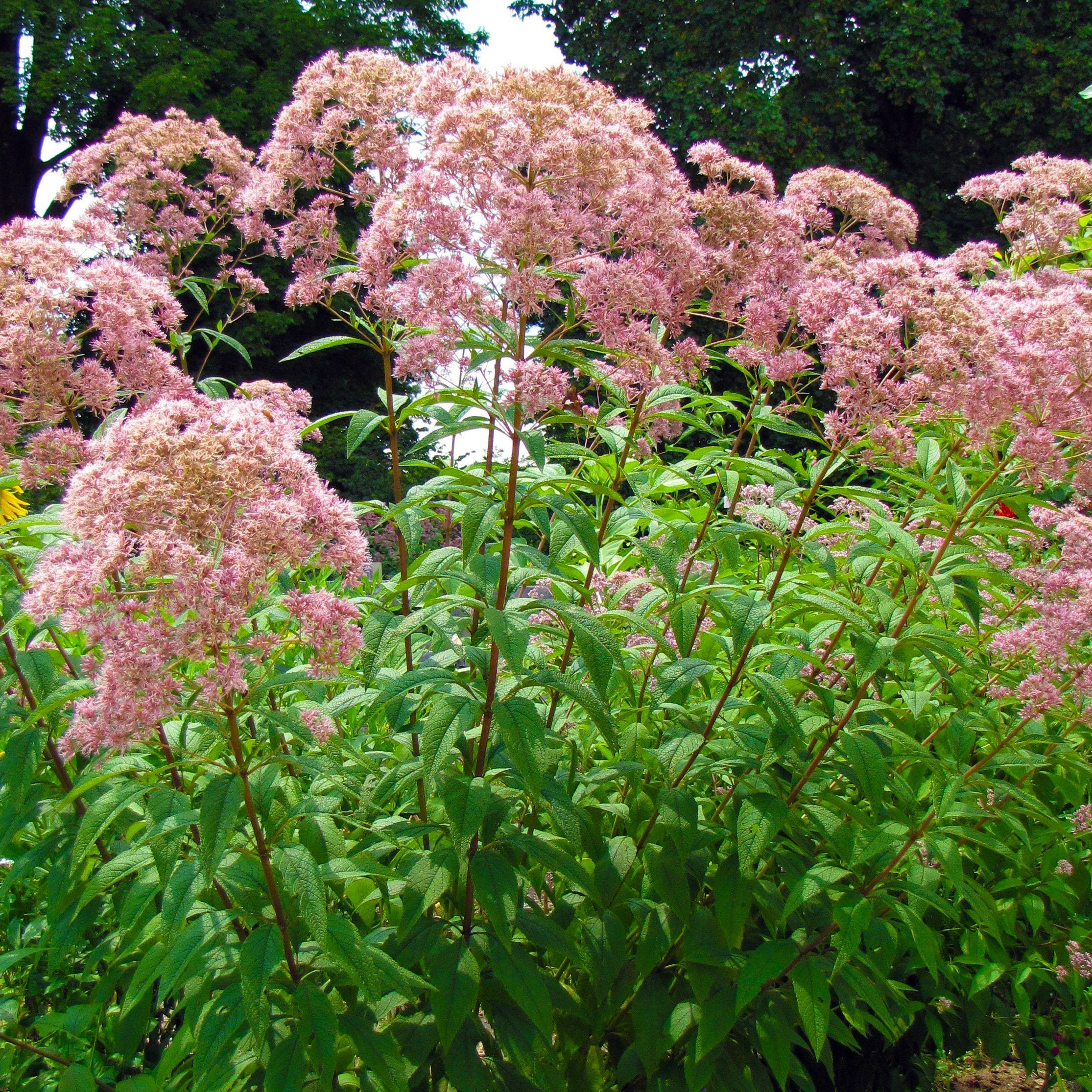 Spotted Joe Pye Weed Seed Pack The Shops At Mount Vernon