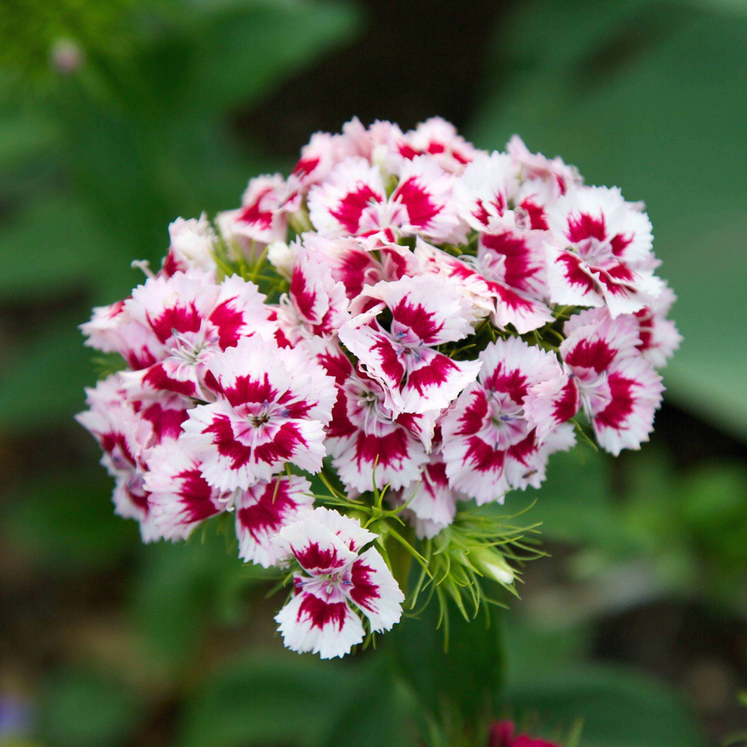 Sweet William Seed Pack The Shops At Mount Vernon