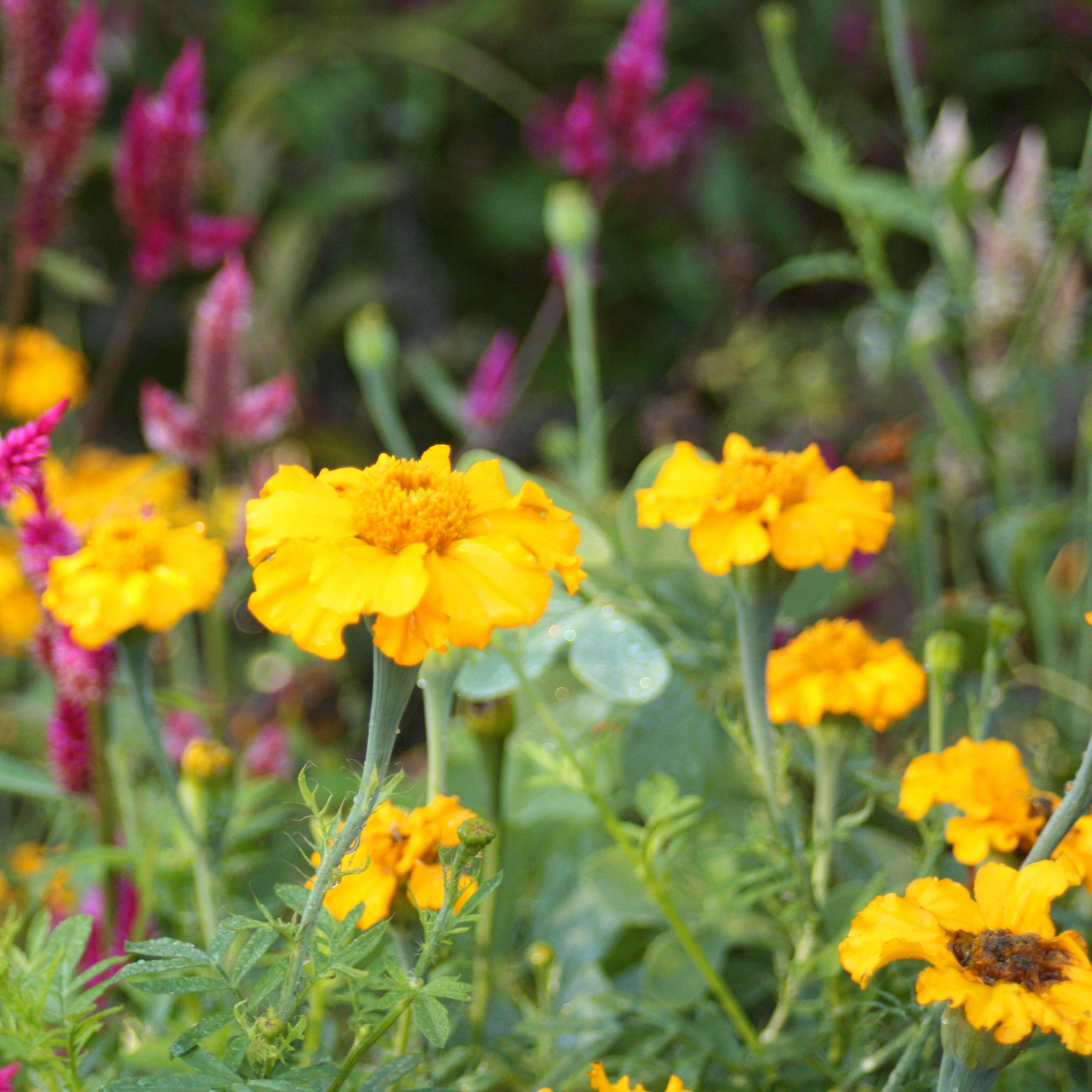 African Marigold Seed Pack