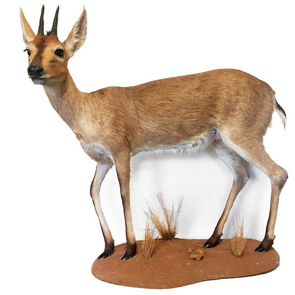 Grey Duiker Antelope Full Mount - City Home - Portland Oregon - Furniture and Home Decor