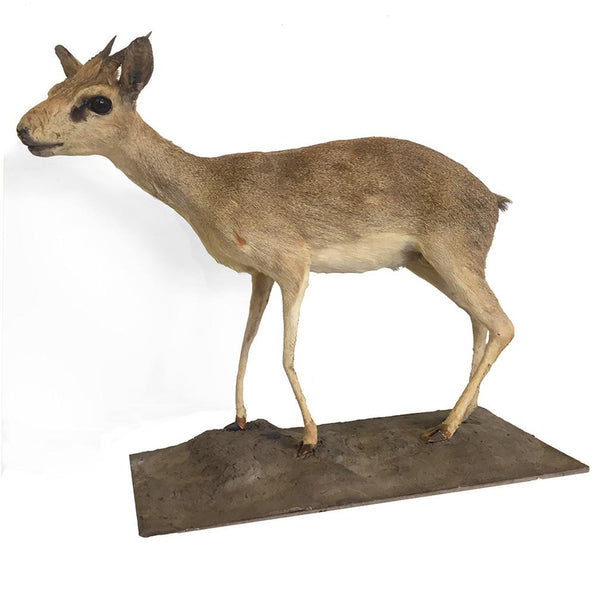 Small Klipspringer Antelope Full Mount - City Home - Portland Oregon - Furniture and Home Decor