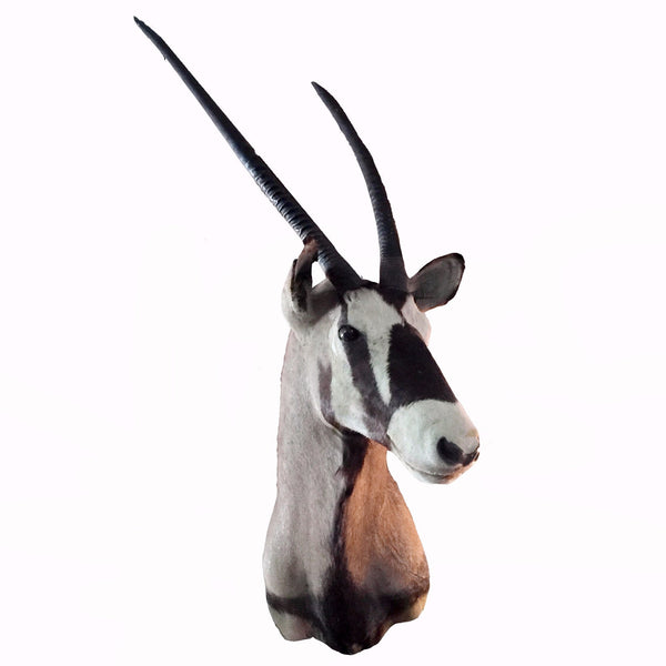 Vintage Gemsbok Shoulder Mount