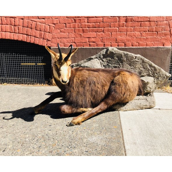 Chamois Full Body Mount - City Home - Portland Oregon - Furniture and Home Decor