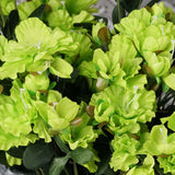 4 Bush 120 Pcs Lime Artificial Silk Gardenias Flowers