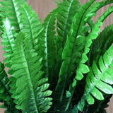 4 Boston Fern Bushes - Green