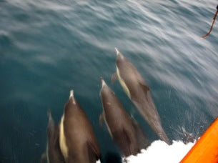 dolphins off of dive boat
