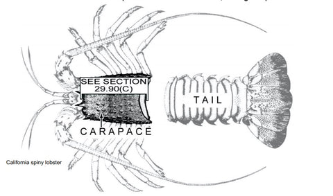 How-to-measure-California-Spiny-Lobster