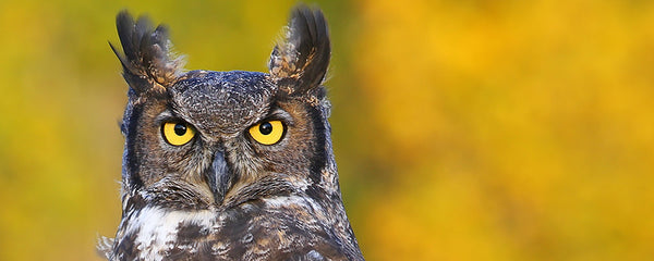 Adopt a Horned Owl at AIWC