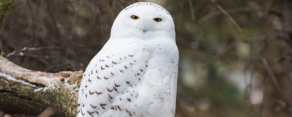 Adopt a Snowy Owl at AIWC