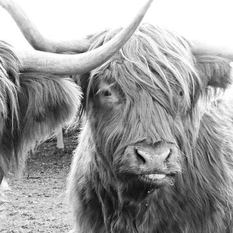 Scottish Highland Cow Natural Modern Black /& White Country Canvas Print A3