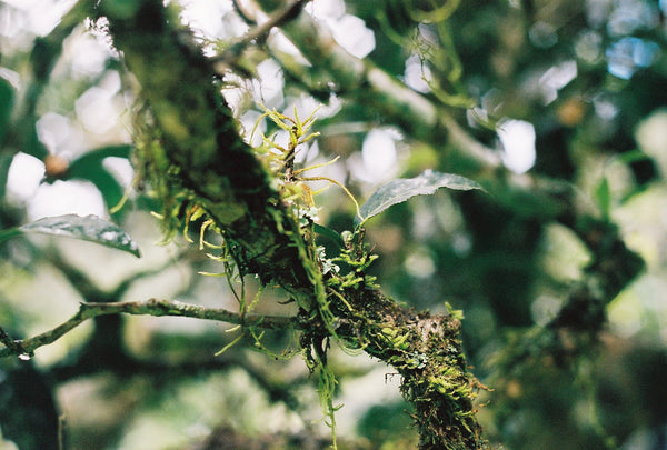 Old tea tree branch covered in symbiotic plants