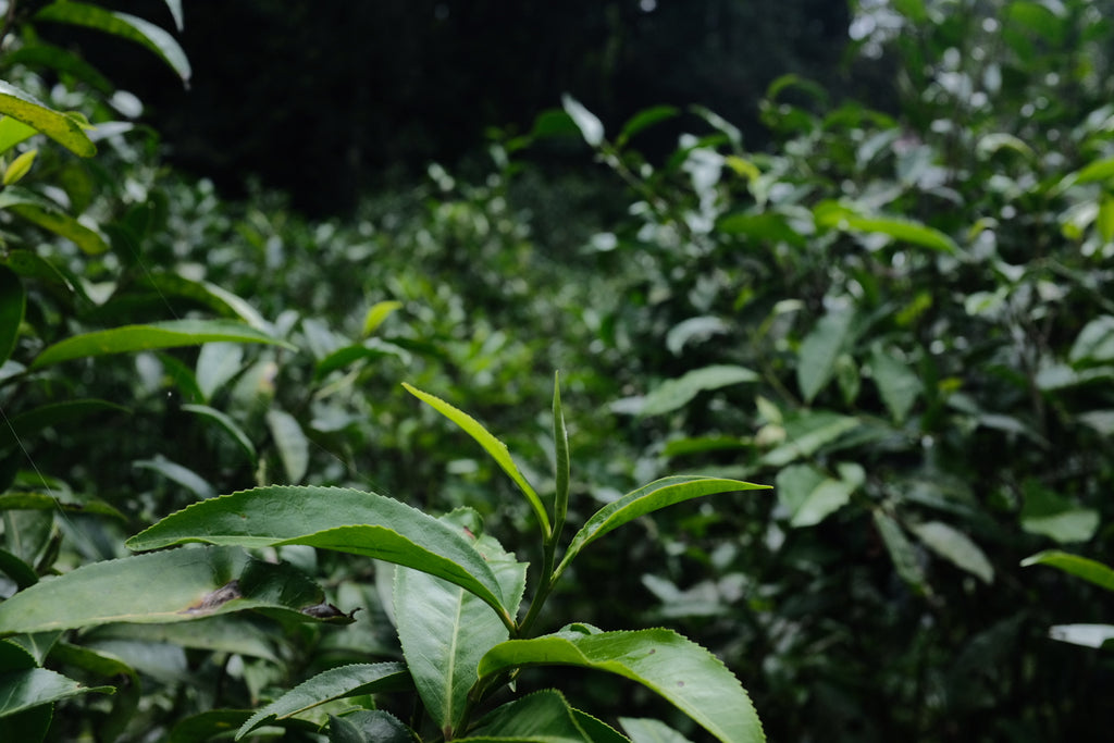 Fresh puer tea growth