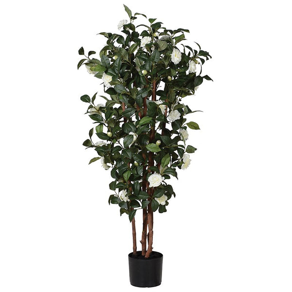 White Camelia Tree in Black Plastic Pot