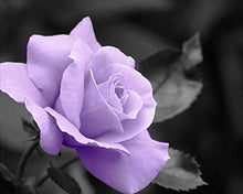 Black and White with a Purple Rose, Wall Art 8x10 Photo