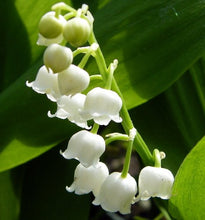 White Lily of the Valley 10 Pips - Convallaria - Great for Shade!