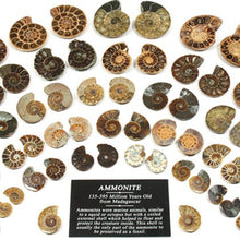 Mini Ammonite Pairs 20 25 Mm