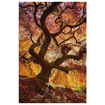 Japanese Flame Tree Landscape Canvas
